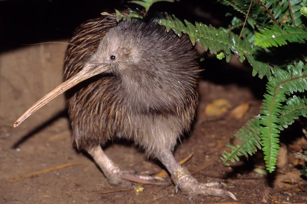 Alimentação do Pássaro Kiwi