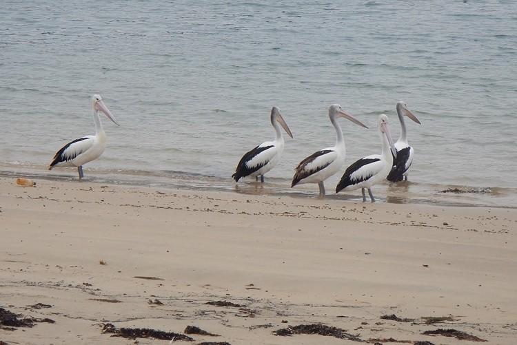 pelicano australiano alimentação