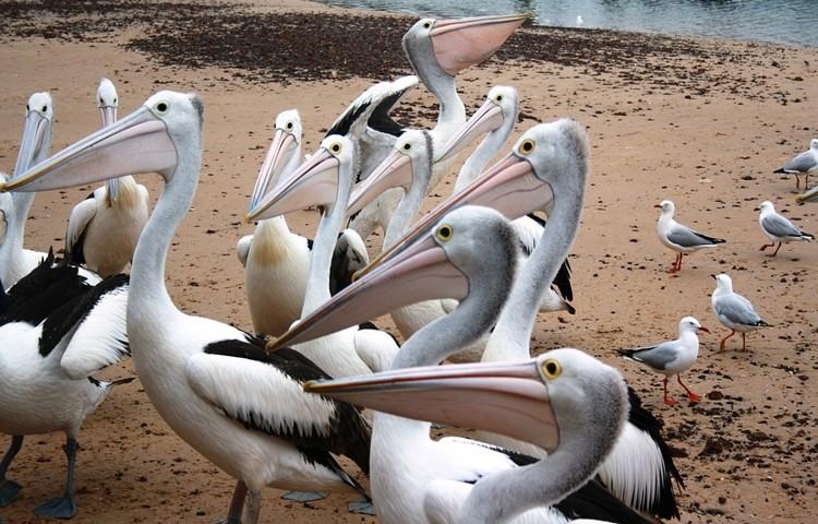pelicano australiano reprodução