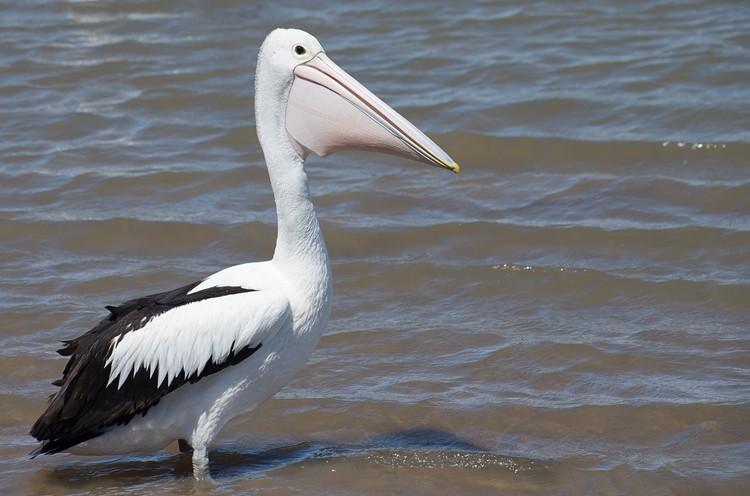 pelicano australiano