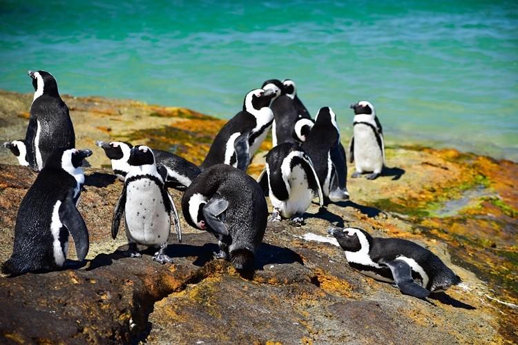 pinguim africano - habitat